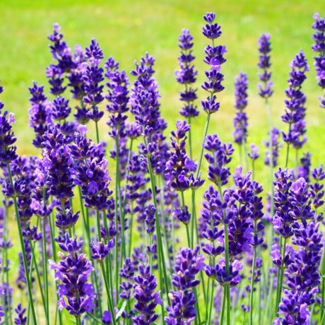 bloom-blooming-lavender-flower-356038
